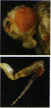 La mosca de la fruta (Drosophila melanogaster) es un insecto que muta con facilidad. En la imagen se observa un ejemplar que desarrolló ojos en sus patas.