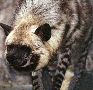 strib_hyena1